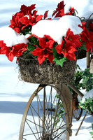 Color photograph of a bunch of poinsettias in a bicycle sculpture in the snow by Crystal Nederman