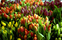 Color photograph of tulips bunches at the Pike Place Market in Seattle by Crystal Nederman