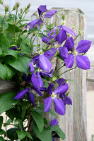 Color photograph of a purple clematis vine hanging on a fence by Crystal Nederman