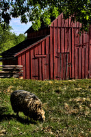 Color photograph of a red barn and grazing sheep by Crystal Nederman