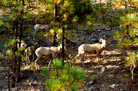 Photograph of mountain sheep by Crystal Nederman in Glacier National Park